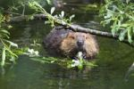 Thumbnail American Beaver (Castor canadensis) eating willow leaves, Alaska, USA, North America