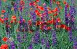 Thumbnail Common Poppies and Larkspur, Fulophaza, Hungary / Papaver rhoeas