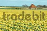 Thumbnail Daffodil field, Texel, Netherlands / Narcissus spec.