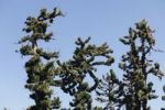 Thumbnail Canary Island Pines (Pinus canariensis), Pinar de Garafia, La Palma, Canary Islands, Spain