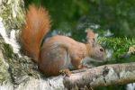 Thumbnail Red squirrel (Sciurus vulgaris)