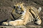 Thumbnail Relaxing tiger (Panthera tigris)