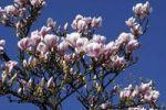 Thumbnail Blooming Saucer magnolia (Magnolia x soulangiana)