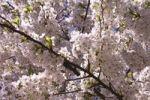 Thumbnail Cherry blossom
