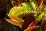 Thumbnail Venus flytrap (Dionaea muscipula), carnivorous plant