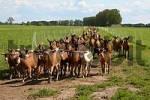 Thumbnail goats in a herd