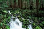 Thumbnail Brook in Temperate Rain Forest, Olympic national park, Washington, USA