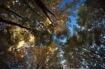 Thumbnail Tree tops, White Mountains, New Hampshire, USA