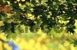 Thumbnail Sugar Maple, White Mountains, New Hampshire, USA / Acer saccharum