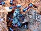 Thumbnail Ants Formica eating a horsefly