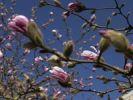 Thumbnail Saucer magnolia (Magnolia x soulangeana)