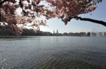 Thumbnail Cherry blossoms alongside the Binnenalster, Inner Alster lake, Hanseatic city of Hamburg, Germany, Europe