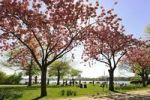 Thumbnail Start of spring, blossoming cherry trees alongside the Outer Alster lake, Hanseatic city of Hamburg, Germany, Europe