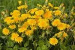 Thumbnail Common Dandelion (Taraxacum officinale)