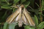 Thumbnail Mullein Moth (Cucullia verbasci), female