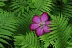 Thumbnail Clematis blossom (Clematis) with fern (Dryopteris)
