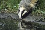 Thumbnail European Badger (Meles meles) drinking, Germany, Europe