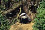 Thumbnail Young Badger (Meles meles) at its den, Germany, Europe