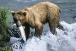 Thumbnail Brown Bear (Ursus arctos) with salmon in Brooks River, Katmai National Park, Alaska, USA