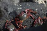 Thumbnail Red rock crabs, La Palma, Canary Islands, Spain