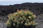 Thumbnail Vinagrera (Rumex lunaria), La Palma, Canary Islands, Spain, Europe
