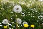 Thumbnail Dandelions in a spring meadow