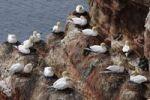 Thumbnail Nesting Northern Gannets (Morus bassanus, Sula bassana) at Helgoland, Schleswig-Holstein, Germany, Europe