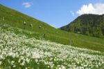 Thumbnail Hikers passing a mountain meadow in spring with blooming white narcissus, Montreux-daffodil (Narcissus poeticus), above Montreux, Vaud, Switzerland, Europe