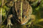 Thumbnail Water frog (Rana kl. Esculenta)