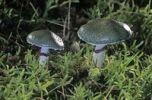 Thumbnail Verdigris agaric (Stropharia aeruginosa)