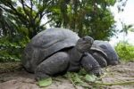 Thumbnail Aldabra Giant Tortoise (Geochelone gigantea), Mahe Island, Seychelles, Indian Ocean, Africa
