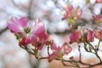 Thumbnail Pink flowering Dogwood (Cornus)