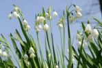 Thumbnail Lily of the Valley (Convallaria majalis) against a blue sky