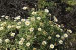 Thumbnail Marguerite Daisies (Argyranthemum frutescens), La Palma, Canary Islands, Spain, Europe