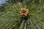 Thumbnail Bloom of the Canary pine (Pinus canariensis), La Palma, Canary Islands, Spain, Europe