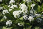 Thumbnail Flowering Wood Garlic, Ramsons, Bears Garlic, Wild Garlic, Buckrams (Allium ursinum), spice plant, vegetable plant, medicinal plant with garlic odor