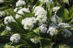 Thumbnail Flowering Wood Garlic, Ramsons, Bears Garlic, Wild Garlic, Buckrams (Allium ursinum), spice plant, vegetable plant, medicinal plant with garlic odor