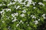 Thumbnail Flowering Woodruff plants, Sweet Woodruff, Wild Baby's Breath (Galium odoratum), medicinal plant, aromatic plant, poisonous plant
