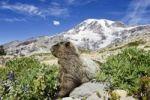 Thumbnail Hoary Marmot (Marmota caligata), Mount Rainier Nationalpark, Washington, USA