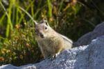Thumbnail Golden-mantled Ground Squirrel (Spermophilus lateralis), Mount Rainier Nationalpark, Washington, USA