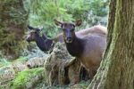 Thumbnail Elks (Cervus elaphus rooseveltii), Hoh Rainforest, Olympic National Park, Washington, USA