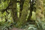 Thumbnail Hoh Rainforest, Olympic National Park, Washington, USA