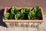 Thumbnail Oak leaf lettuce and lollo rosso lettuce in a terracotta vat