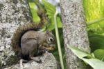 Thumbnail Squirrel (Sciurus vulgaris), with nut
