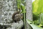 Thumbnail Squirrel (Sciurus vulgaris), with nut