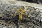 Thumbnail Four-spotted Chaser (Libellula quadrimaculata) shortly after hatching, drying itself on deadwood