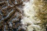 Thumbnail Coral bleaching, dying Stony coral, Indonesia, Southeast Asia