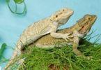 Thumbnail Bearded Dragons (Pogona) on each other