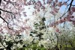 Thumbnail Cherry blossoms