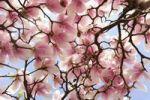 Thumbnail Flowering Magnolia